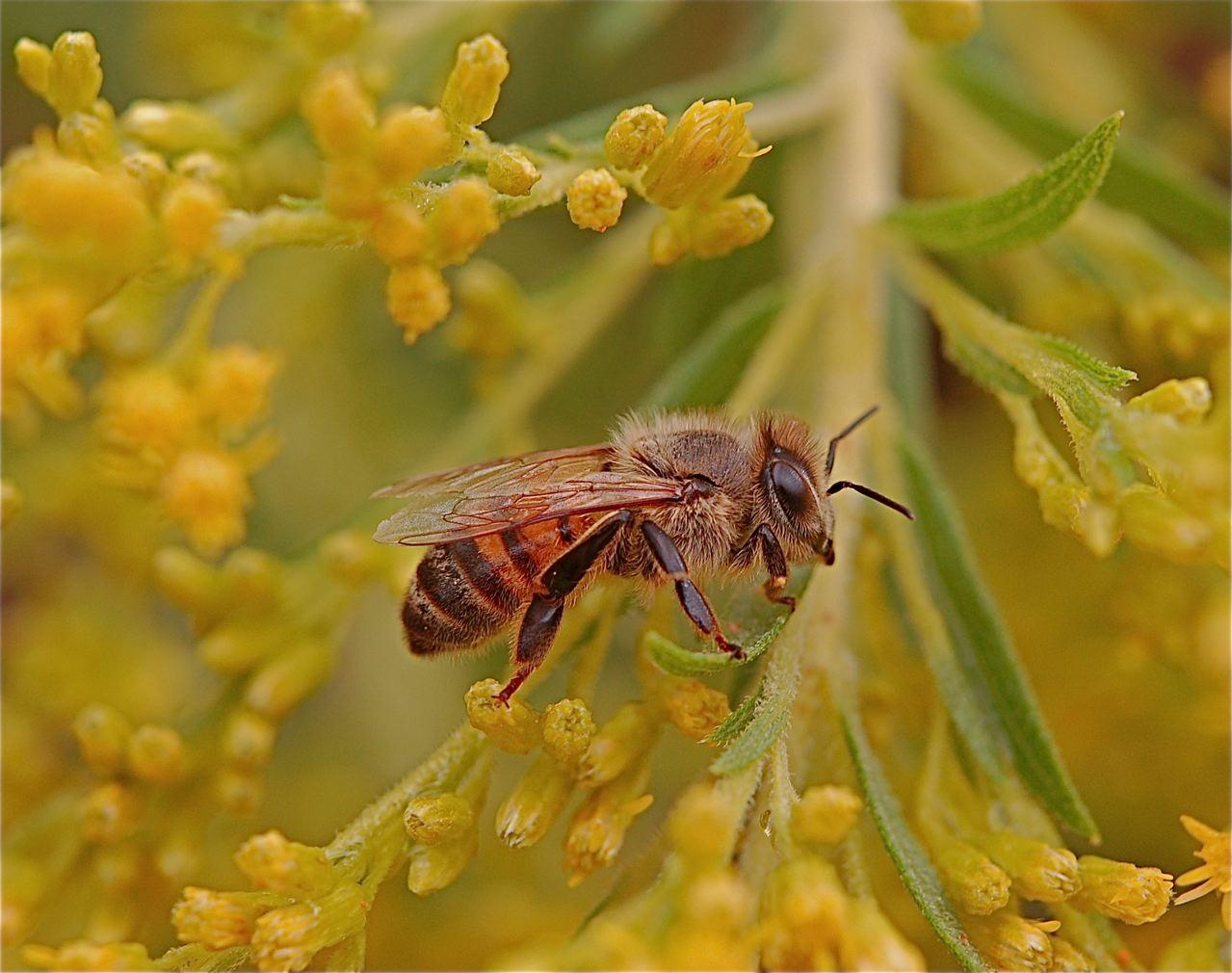 Afrikanische Biene