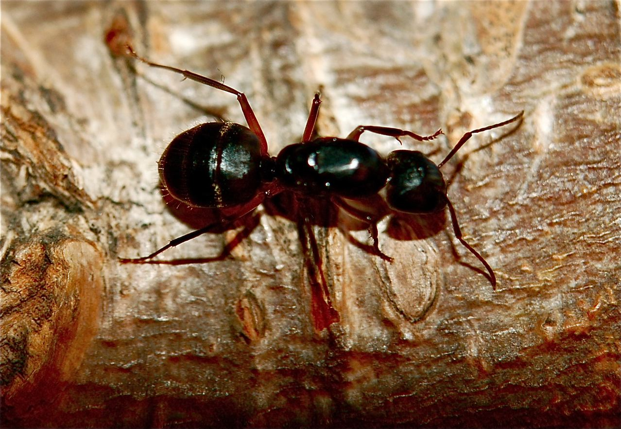 big black ant - photo #11