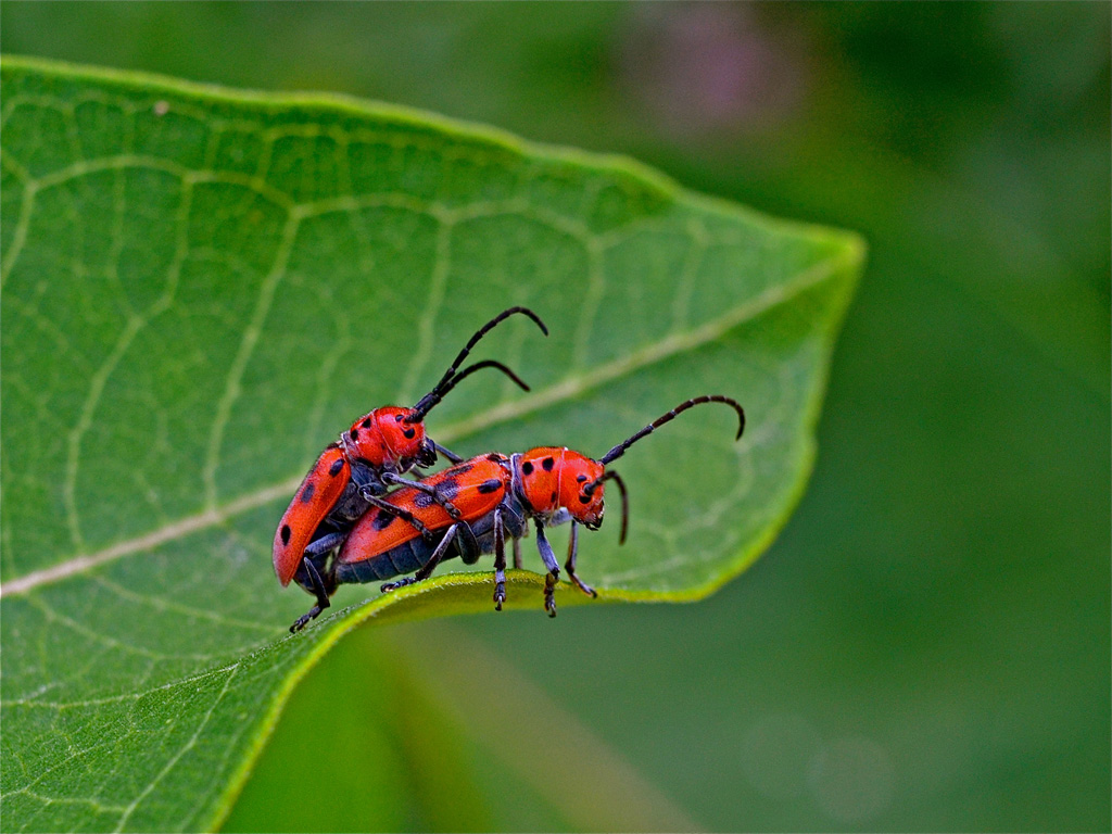 Red horned beetles - photo#7