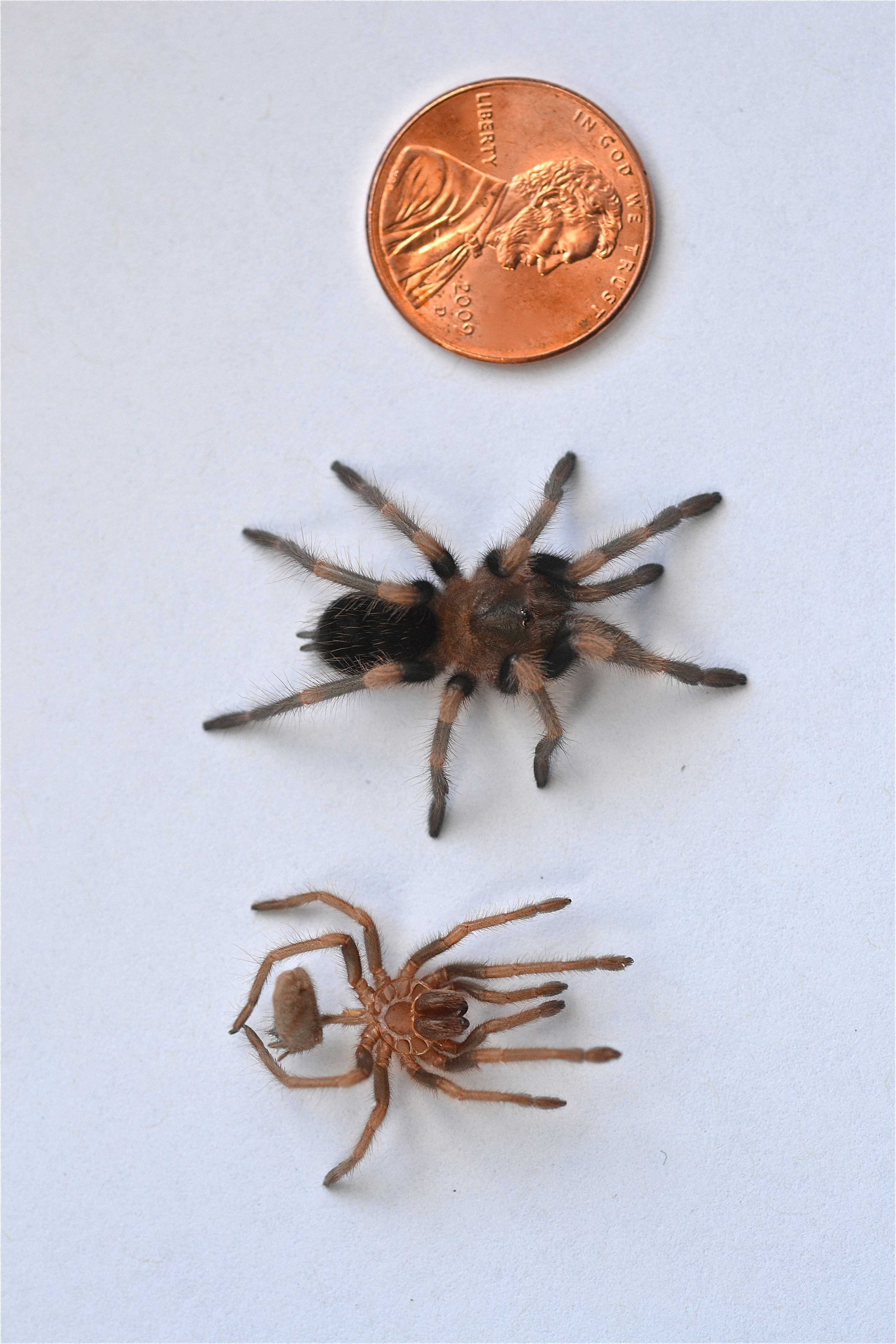 First Mexican red knee tarantula (chypelma smithi) molt ... on map where do tarantula, how long do tarantulas live, map of where camels are from, where do tarantulas live, map where do lizards live on a glass, map of brown recluse spiders in the us, map of arkansas, were tarantula live, map where do praying mantis live, map of mississippi natural resources, maps of where the brown widows live, map of tarantulas in us, map of tarantula hawk wasp,