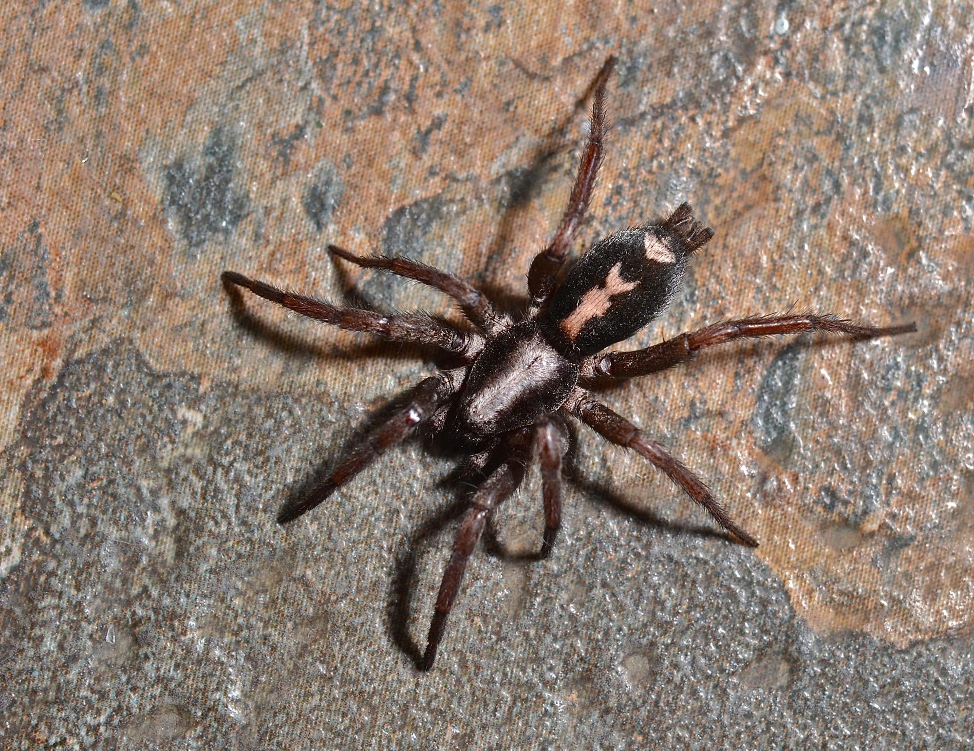Eastern Parson Spider Herpyllus Ecclesiasticus Things Biological