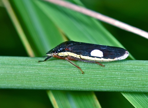 Leafhopper with brochosomes at
