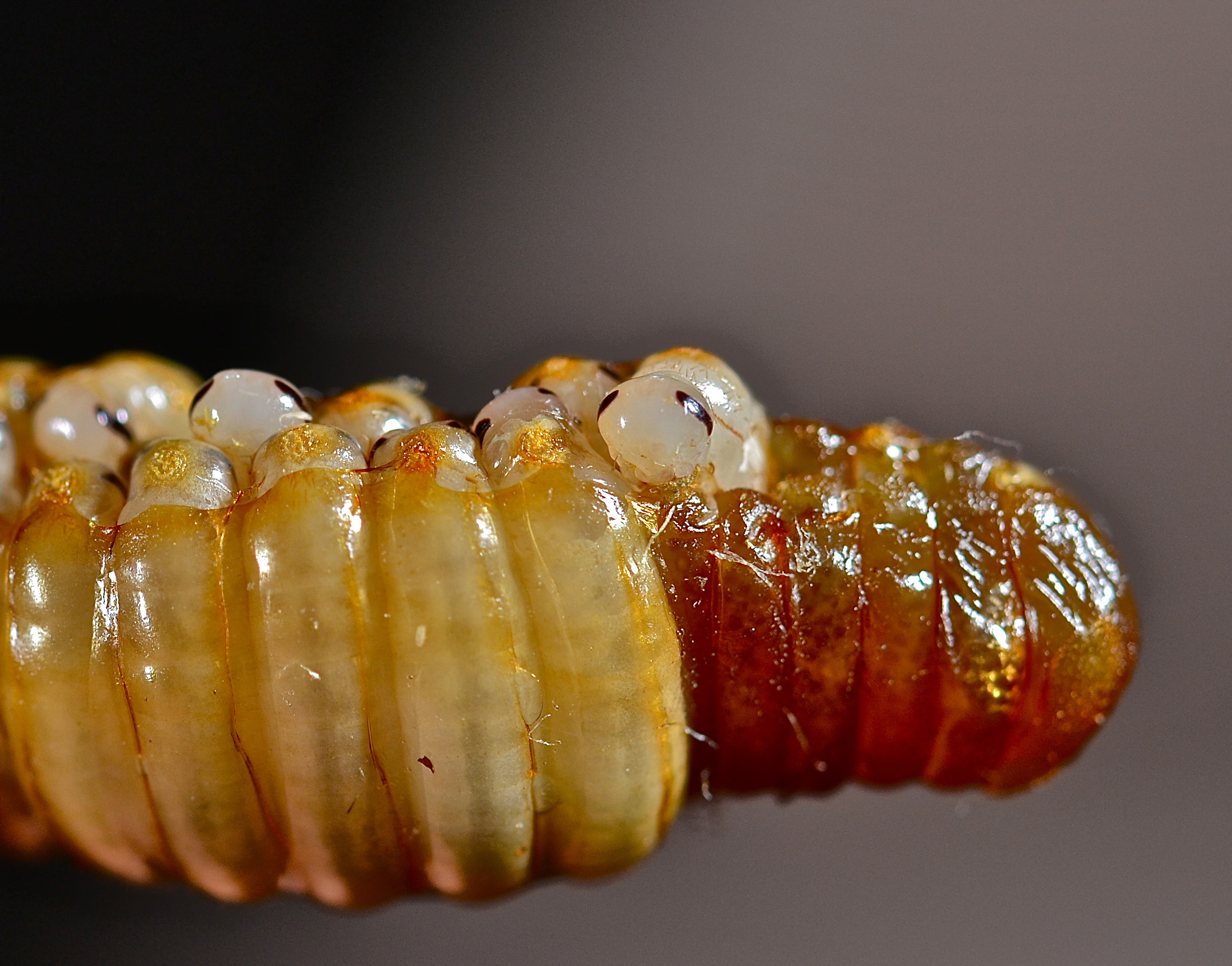 Cockroach eggs hatching