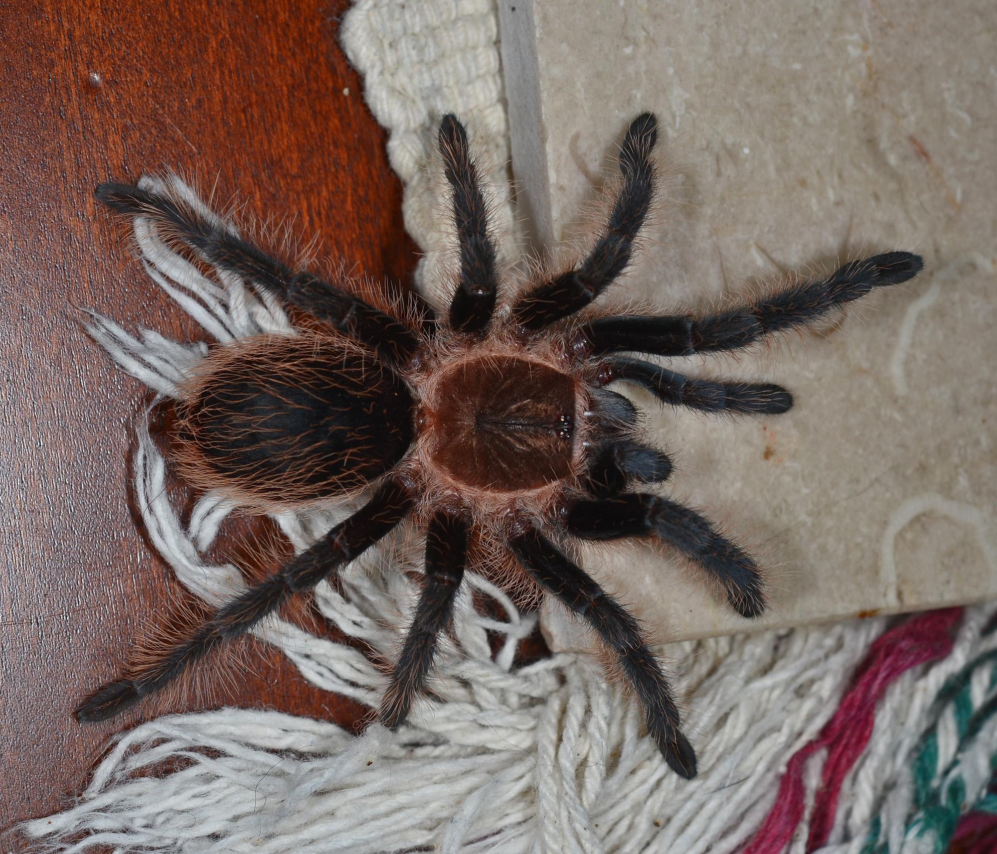 Tarantula Golden Size Knee