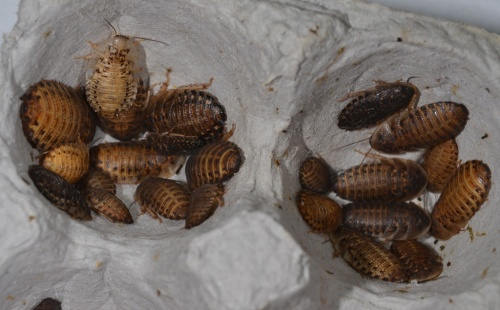 A variety of different size nymphs can be found when you invert the cardboard egg trays in their enclosure.