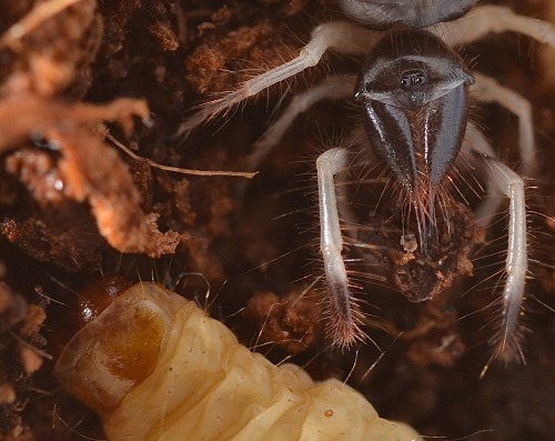 Solfugid with waxworm, September 6, 2013.