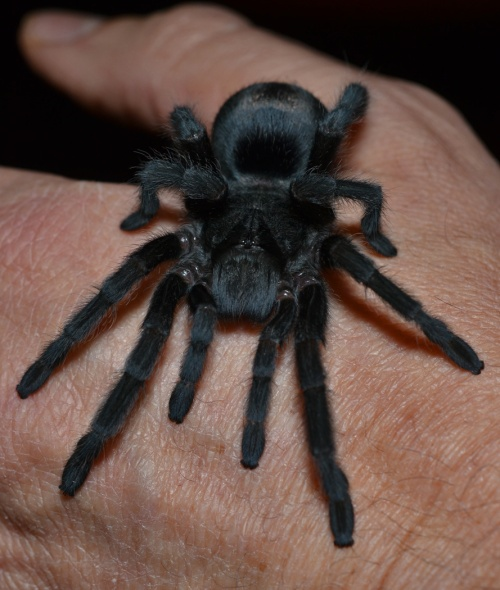 Juvenile male Brazilian black tarantula (Grammostola pulchra) after his most recent molt. Click/double click image to enlarge.