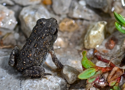 Newly emerged toad. Click/double click to enlarge.
