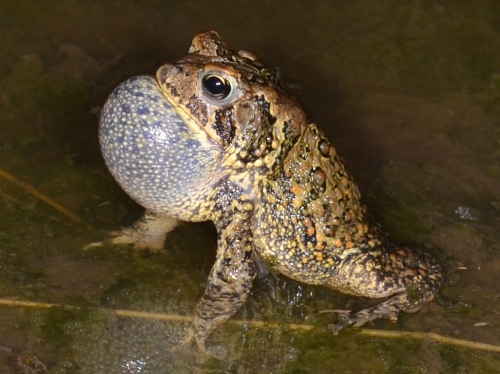 June 20 - Last night's inch of rain resulted in puddling in the low areas at the edges of the local corn fields. The night air is filled with the trilling of hundreds of amorous male toads. I didn't even have to leave the yard this evening to capture the image of this calling male. Click/double click image to enlarge.