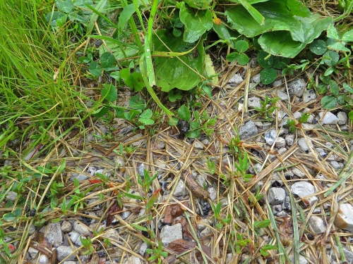 The first toad to emerge from the roadside vegetation staring up at me. Click/double click to enlarge.