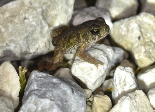 Physical features and markings of this newly emerged American toad are clear...